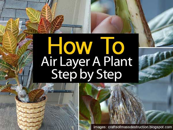One of the oldest methods of propagation is by air layering. It may not be the fastest method, but it does allow you to start with a much larger plant. Tropicals such as Ficus, Dracaena, hibiscus, croton and other make great candidates for air layering. The question is how do you go about air-layering a …