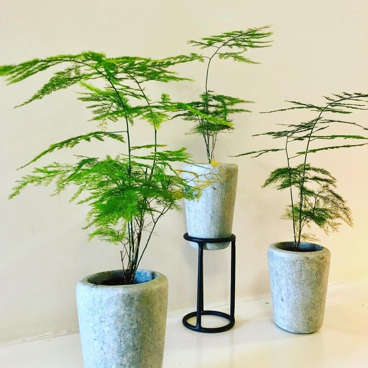 """Christmas is around the corner, bring in some festive greens. Lace fern or climbing asparagus does just that. Here you see them paired with our popular hand-carved stone tumblers and metal stand! This easy to grow fern is great for indoors. 💚 Preorder yours today Dimensions Tumblers are 4"""" x 2.5"""" Stand 6"""" x 3"""" #greenhousedesignspace #greenhousebangalore #greengifts #gardenaccessories #bangalore #bengaluru #bangalorediaries #plants #gogreen #naturelove #lovefornature #indoorplants #home..."""