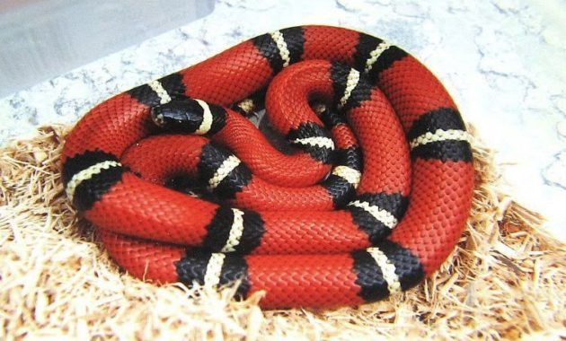 Snakes Art 13 Beautiful And Colorful Small Snake Pets In 2020 Milk Snake Snake Small Snakes
