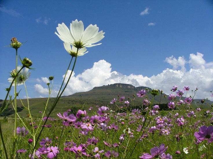 Field on Drakensberg mountain