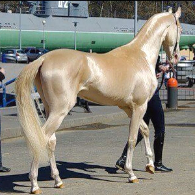 The Akhal-Teke is a horse breed from Turkmenistan, apparently there are only 3,500 left. Known for their speed and natural metallic shimmering coat. Pretty