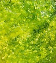 Spirulina - naturalne źródło