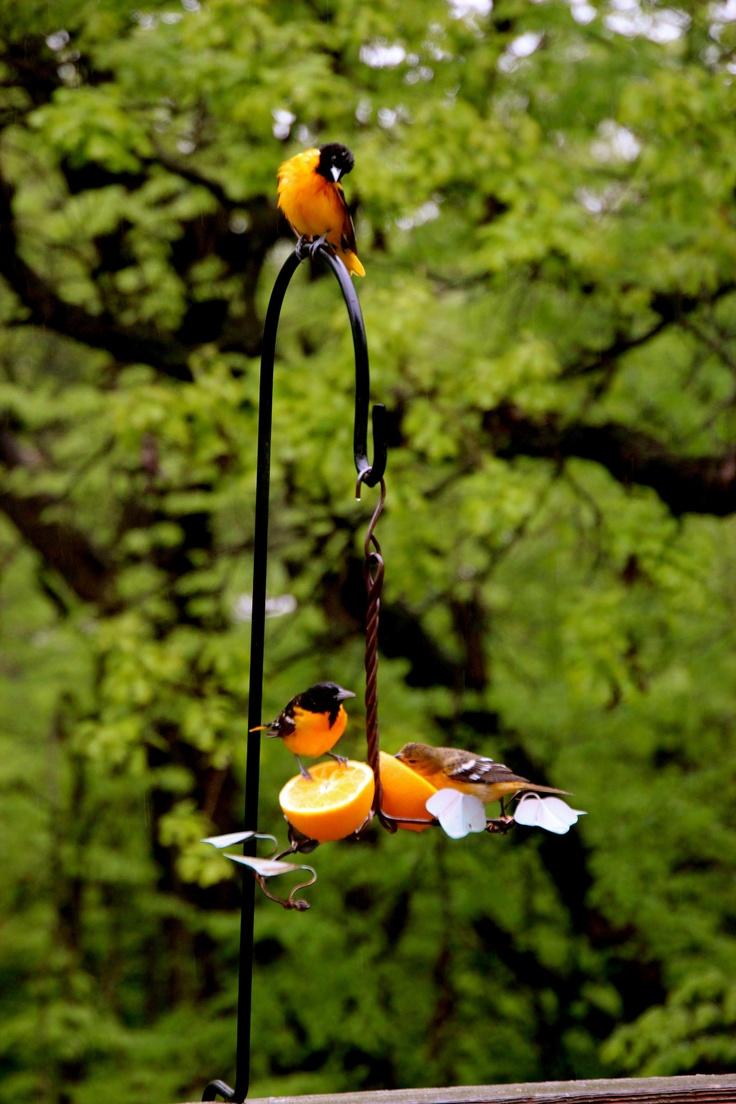 Orioles in Iowa: Wildlife Pictures, Gardening Outside Stuff, Iowa Girls, Iowa Every Spring, Midwest Memories, Gardens Dreams, Beautiful Iowa