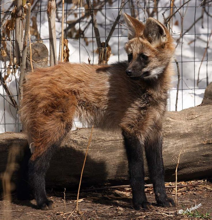 Maned wolf pup at Denver zoo....