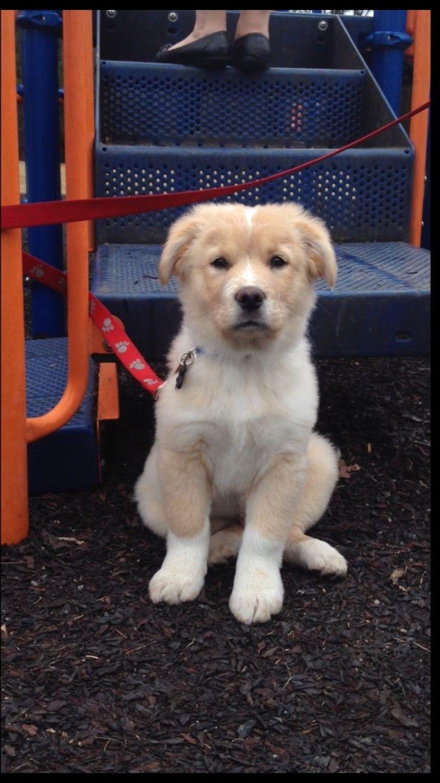 Golden retriever pitbull mix!! http://ift.tt/2rAdOEv
