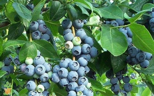 Cold Hardy Tifblue Blueberry Bushes for Sale | The Planting Tree