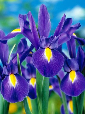 """Dutch Iris 'Blue Ribbon' - Velvety purple petals accented with a bright yellow throat make this Iris a real stunner. A spring time bloomer. Height 24"""". Zones 6-9"""
