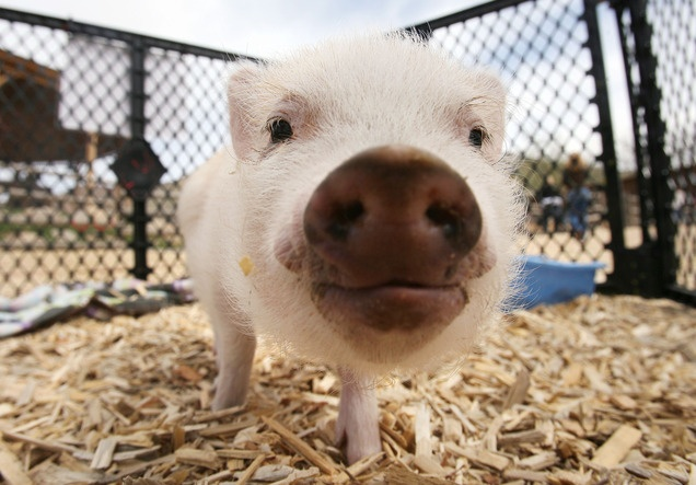 A piglet at the baby animal barn at This Is the Place Heritage Park in Salt Lake City.
