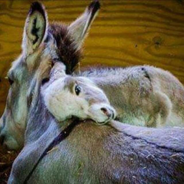 Jesus rode on a donkey's back....cross markings