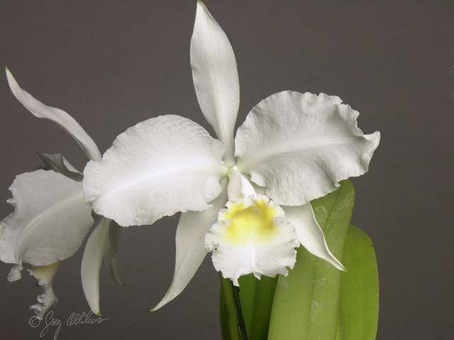 Cattleya Lueddemanniana Var Alba Cattleya Orchid Photo Orchids