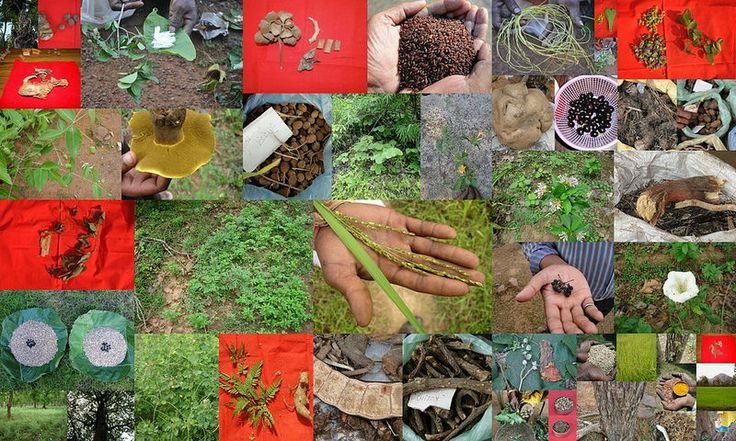 Medicinal Rice based Tribal Medicines for Diabetes Complications and Metabolic Disorders (TH Group-706) from Pankaj Oudhia's Medicinal Plant Database (Encyclopedia of Tribal Medicines by Pankaj Oudhia)