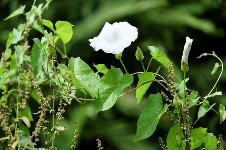 Le liseron, des champs ou des haies est une calamité dans certains jardins. Découvrez nos conseils et astuces pour l\'éliminer ou limiter sa progression.