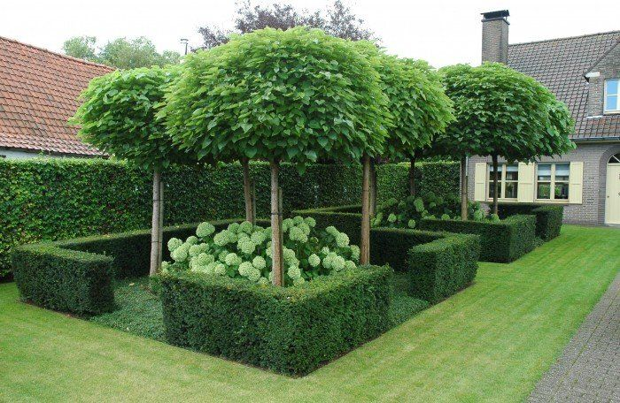 Catalpa bignoides nana bolvormige trompetboom groot for Garden design ideas with hedges