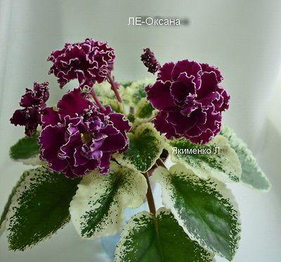 ☘ LE - OKSANA ☘ African Violet Plant Saintpaulia ☘ Starter Plug Ukrainian 2014