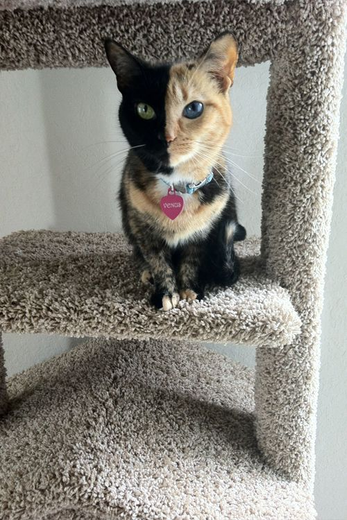 17 Best images about Chimera Cat on Pinterest   Different ...