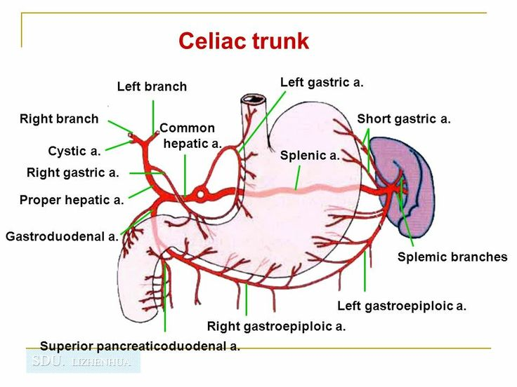 más de 25 ideas increíbles sobre arteria celíaca en pinterest, Cephalic Vein