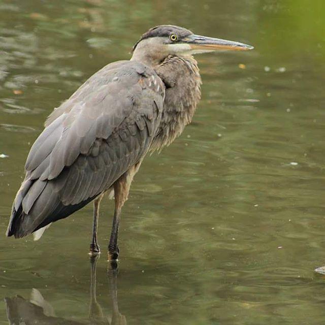 #crain #bird #birdsofinstagram #birdsphotography #birdoftheday #chingcousypark…