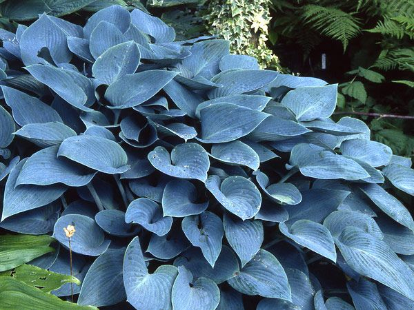 Hosta 'Halcyon' A part shade perennial grown for its blue-green foliage.
