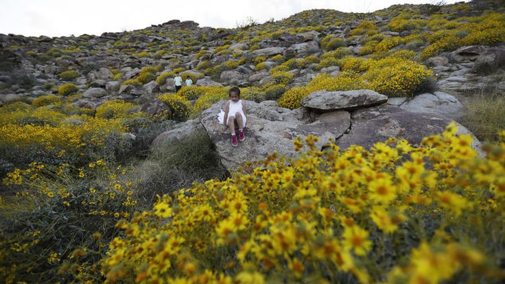 """California super bloom/""""It's an amazing burst in the cycle of life in the desert that has come because of a freakish event like a super bloom,"""" Haddock said. """"It's exciting. This is going to be so huge for our economy."""""""