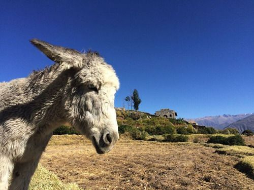 A pensive donkey, waiting for us at the top of the Colca Canyon #Peru #Arequipa #ColcaCanyon #Colca #RTW #JulesVernex2 More on our stay in Peru in our travel blog julesvernex2.wordpress.com