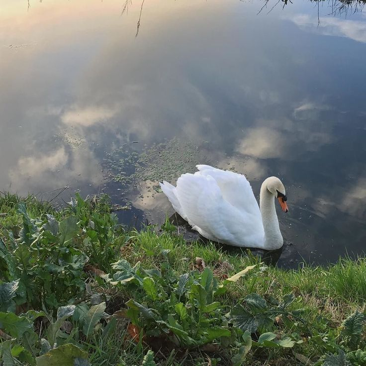 Beautiful swan while on my morning walk. Just outside the playing field at the end of my road. I love how such a magnificent bird can live in an industrial drainage channel. #beautifulthurrock #mindfulwalk #swan #thurrock #birdspotting