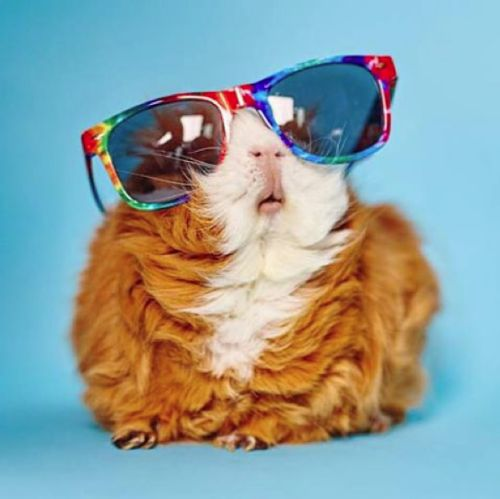 OMG!! ONE, THAT GUINEA PIG KNOWS HOW TO WORK SUNGLASSES. TWO, THAT GUINEA PIG IS SO FULFFY & CUTE!!