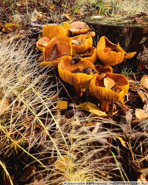"""Yellow Mushrooms.  Taken by my Linhof Technika III, 4x5"""".  Velvia 100."""