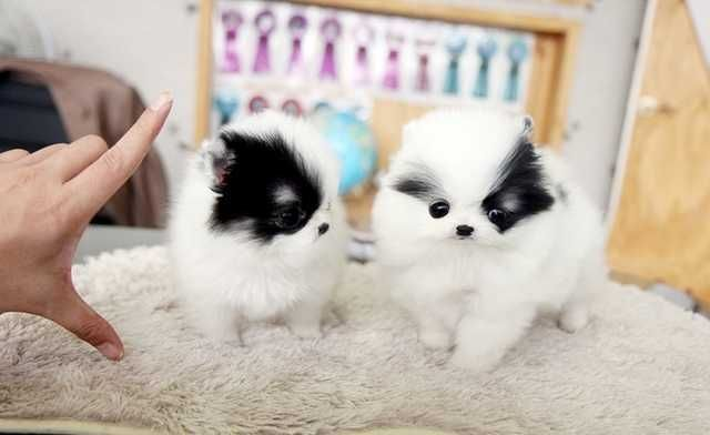 Teacup Pomeranian Puppies Very Tiny For Sale Adoption From New
