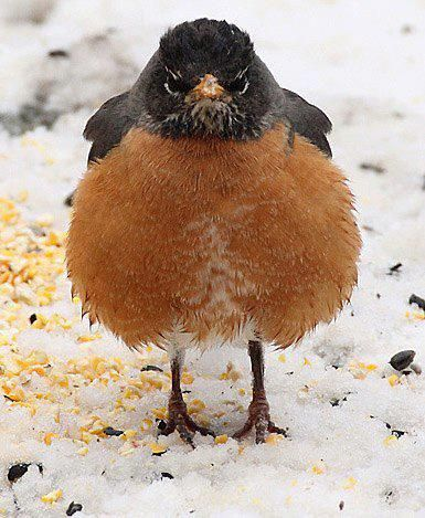 """""""The Mad Robin"""" in April 2014 - Michigan's state bird, the robin, on a beautiful """"Spring day"""" in the U.P. (*It snowed again on 4-29-14!) NO GARAGE SALES in MAY2016 with FROST advisories!"""