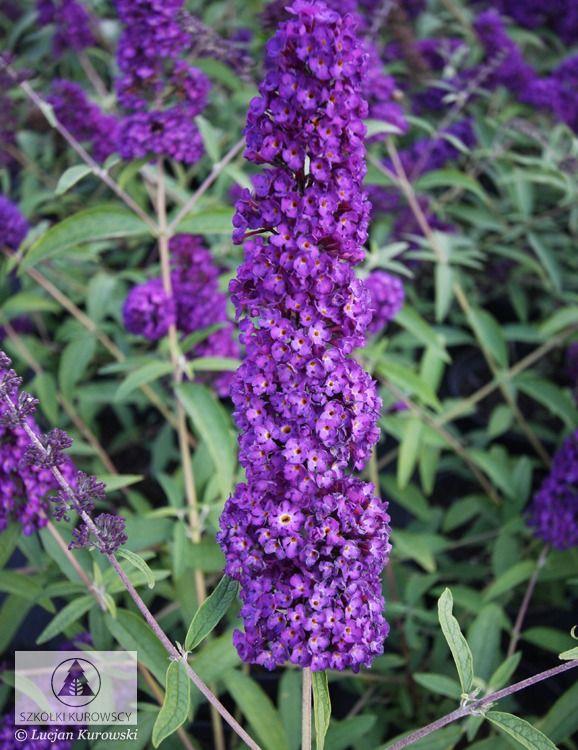 best 25 buddleja davidii ideas on pinterest butterfly bush flowers garden and pruning. Black Bedroom Furniture Sets. Home Design Ideas