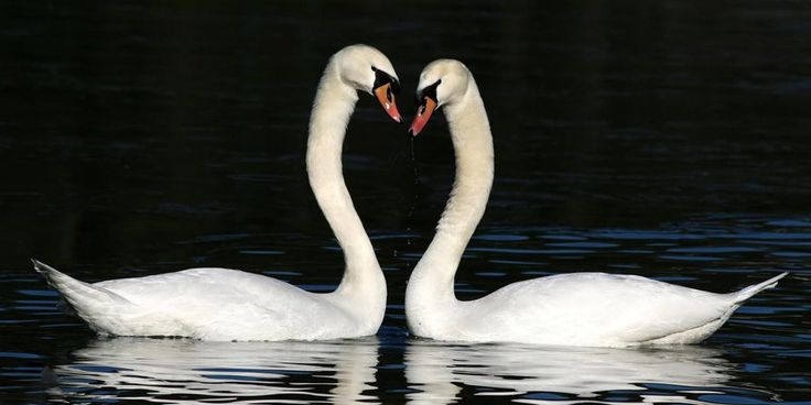 Dutch: Gelukkig worden in 7 simpele stappen -gelukkigworden.com  Two swans the perfect couple photo for my blog in Dutch about being happy (use google translate if you like to read it)