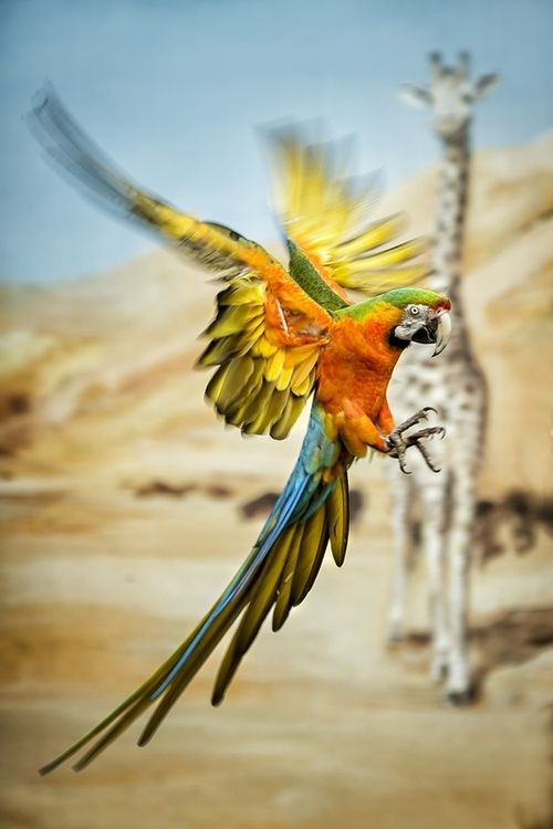 Parrot…yeah right theres a giraffe in the background