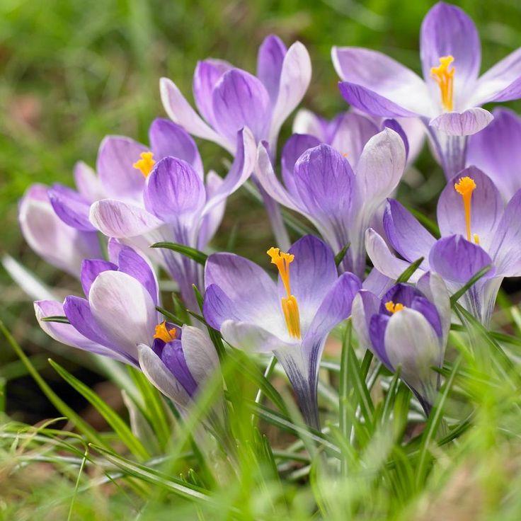 Krokus Spezies Jalta Krokus Blumen Und Spezies