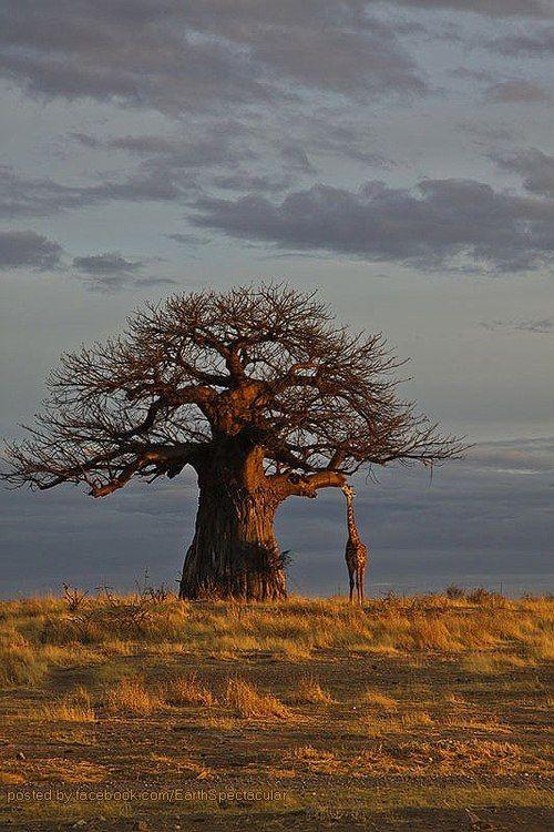 Morning at Ruaha National Park, Tanzania - Africa    Photography - Marjut Raunio