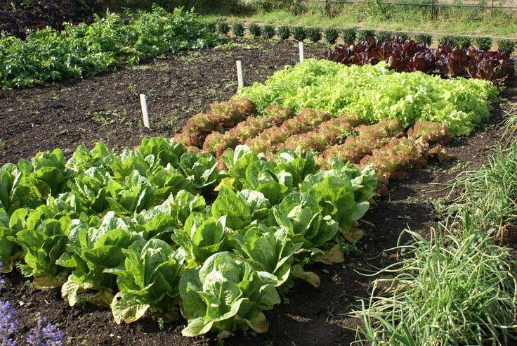 Уплотненная посадка овощей