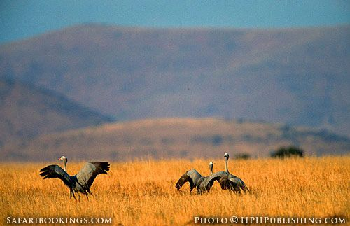 Blue cranes @ Mountain Zebra National Park in South Africa. For a Mountain Zebra Travel guide visit www.safaribookings.com/mountain-zebra-np. With Travel tips, Best time to visit, Reviews, Photos and more!
