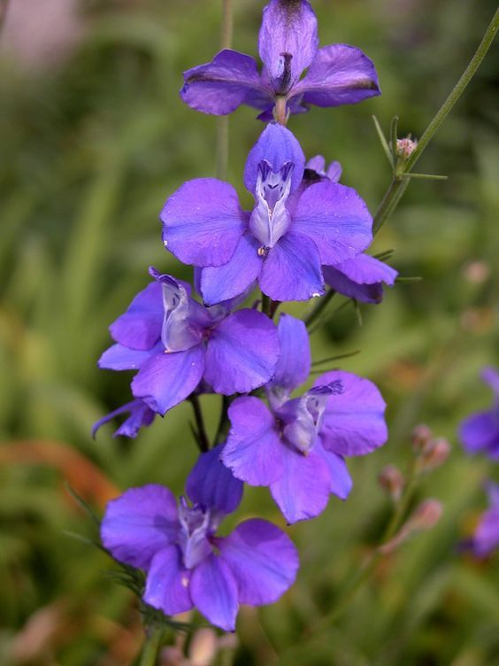 Growing larkspur flowers provides tall, early season color in the spring. . .
