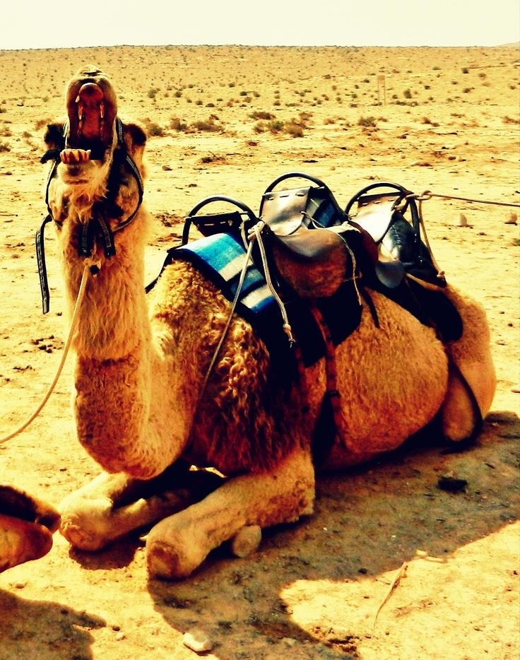 Camel ride Negev desert