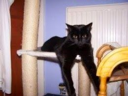 Living with Cats: Meet Bailey the Black Cat