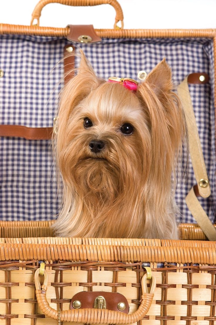 Best 25+ Yorkshire terrier haircut ideas only on Pinterest ...