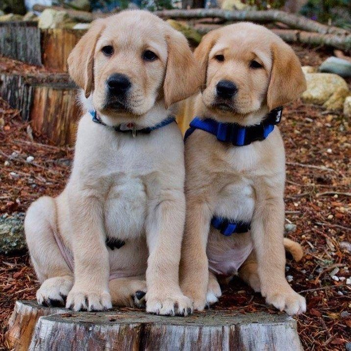 Pin By Peggy Ngu On Labrador宠物 In 2020 With Images