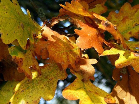 Herfstbladeren. Autumn leaves.