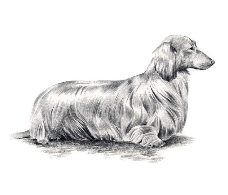 Line Drawing Dachshund : Long haired dachshund dog pencil drawing art print signed