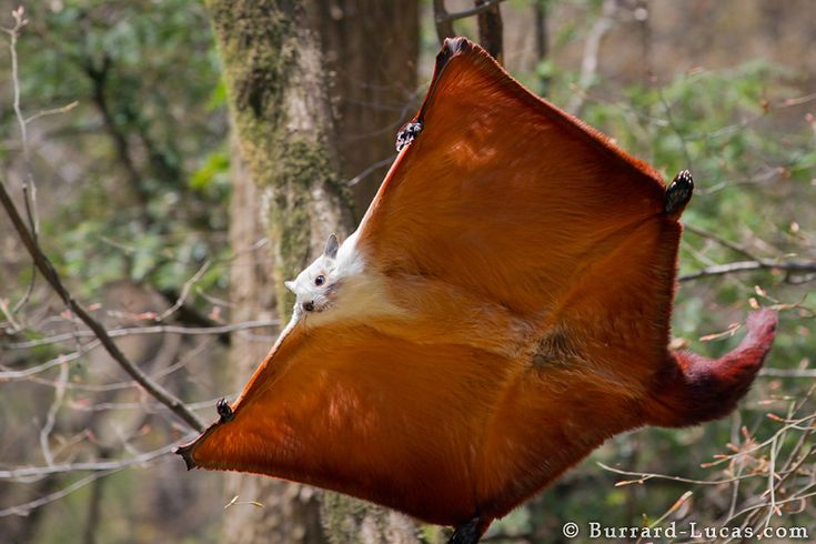 NOT A BAT!  Giant Flying Squirrel by Will Burrard-Lucas, via 500px