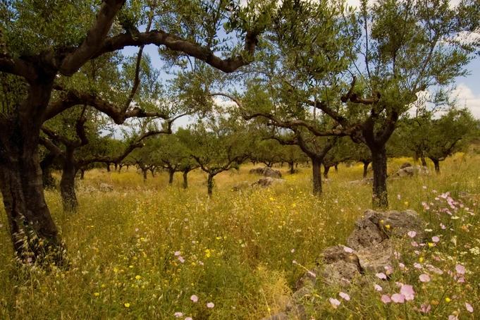 Olive trees near #Kalamata #Greece