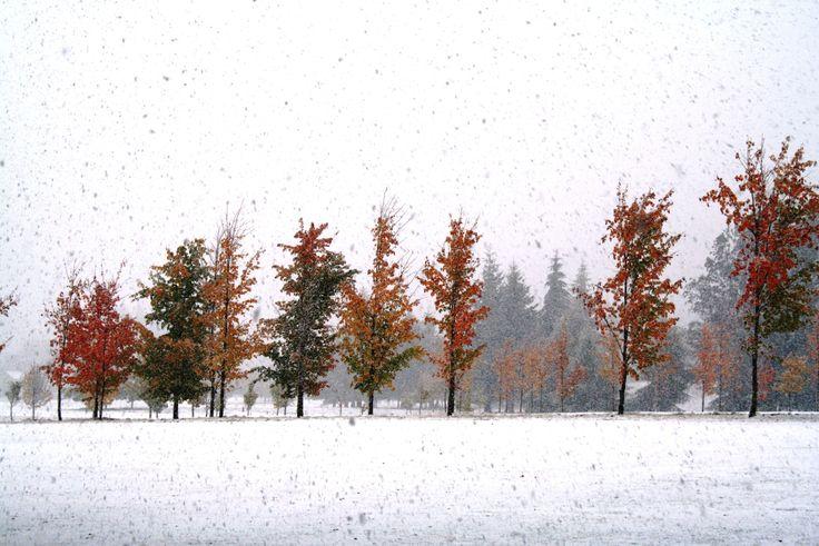 Autumn coloured trees with white snow on the ground..  #queenstown #arrowtown #millbrookresort #snow #winterwonderland