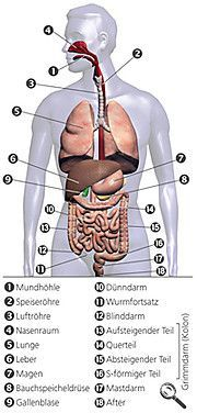 Aufbau und Funktion von Leber, Galle und Bauchspeicheldrüse – Nixe Name