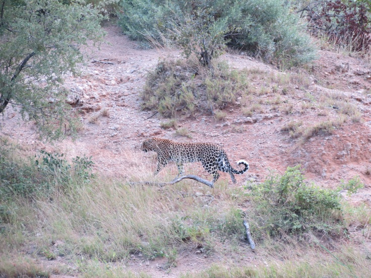 Leopard near Mopani Kruger Park.