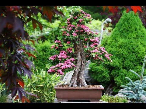 BEAUTIFUL   BONSAI   EXHIBITION
