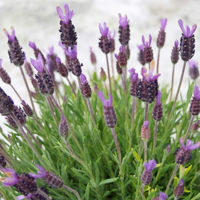 Spanish/Italian Lavender. Colours include whites, rose pinks thru to purple